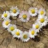 daisy-712892_640